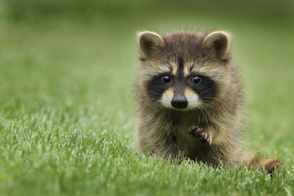 cute raccon image
