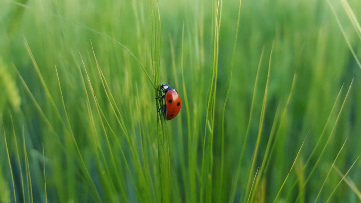 laydybug