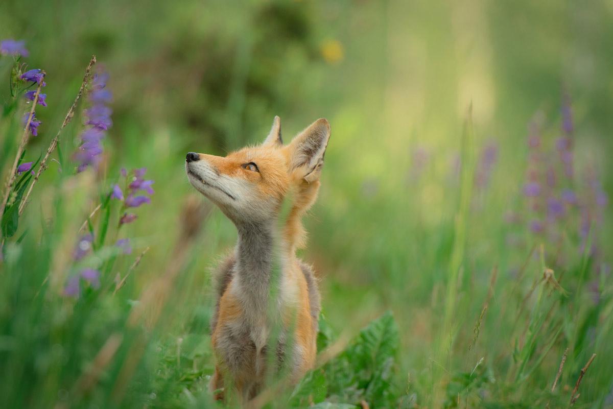 fox photo
